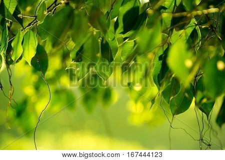 Close up green Benjamin's fig leaf nature abstract background