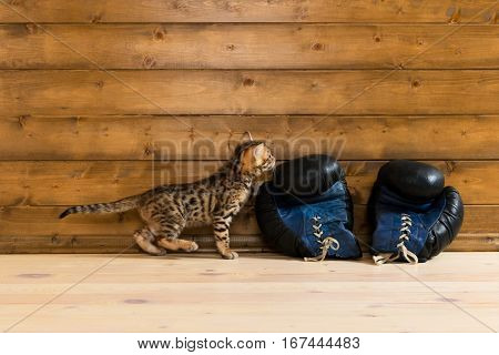 Bengal kitten with boxing gloves looking at your writing on the wall