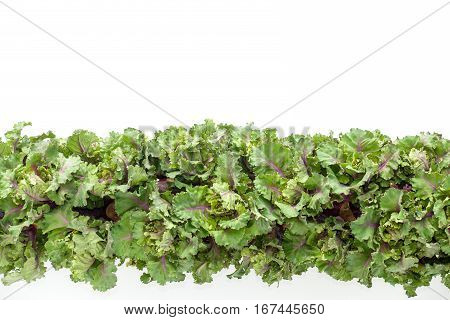 Large Fresh kalette stalk on white background with lots of copy space. Backlit.