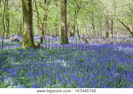 Bluebells in the woods East Sussex England selective focus