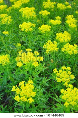 Marsh Spurge (euphorbia Palustris)