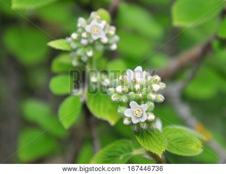 Waxflower (jamesia Americana)