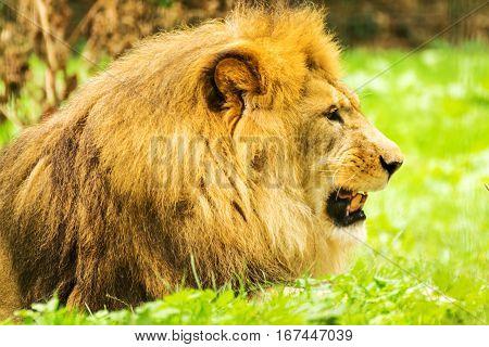 Lion male. Panthera leo. Wild animal and wildlife.