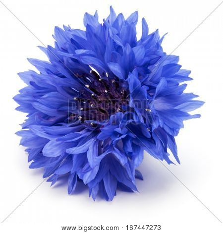 Blue Cornflower Herb or bachelor button flower head isolated on white background cutout
