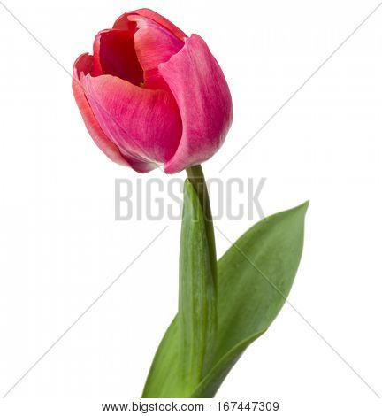 one pink tulip flower isolated on white background