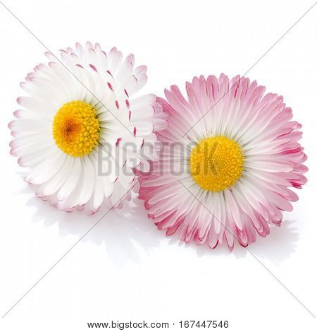 Beautiful daisy flowers isolated on white background cutout