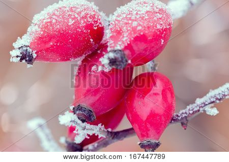 red briar on the branch covered by hoarfrost
