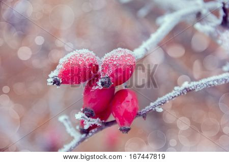red briar on the branch covered by hoarfrost with boke