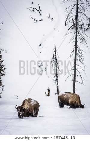 American Bison in the snow at Yellowstone National Park