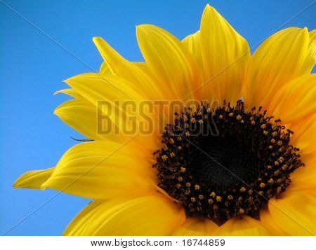 close-ups of beauty sunflower on blue background