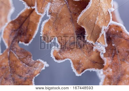 dry brown oak leaves covered with hoarfrost as a background