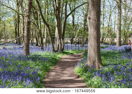 Bluebells in the woods East Sussex England selective focus on the closest tree on the right