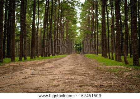 Road path in a pine tree forest. Front focus. Low depth of field.