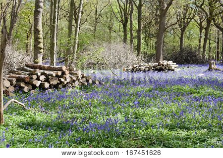 Bluebells in the woods East Sussex England selective focus on the logs on the left