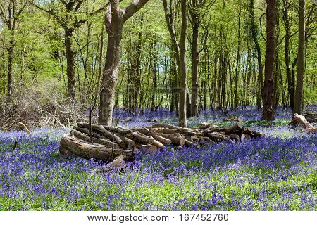 Bluebells in the woods East Sussex England selective focus on the logs