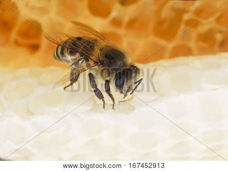 Bee sitting on a white honey comb, eating sweet golden honey