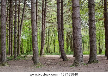 Pine forest background Abbot's Wood East Sussex England