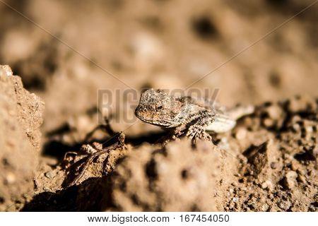 Horned lizard in its natural habitat, resting