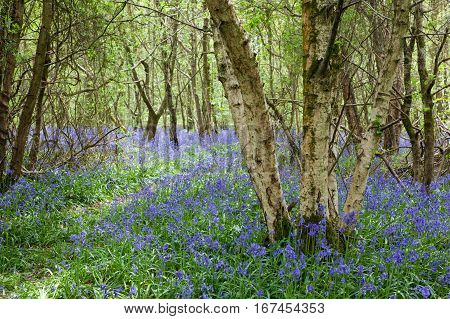 Bluebells in the woods East Sussex England selective focus on the group of trees on the right