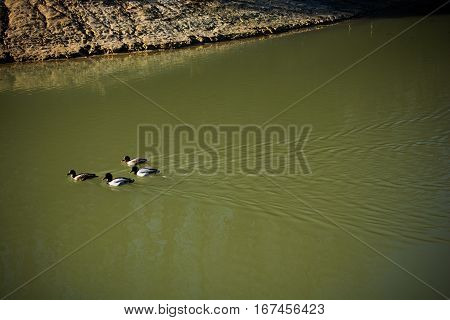 Lonely ducks swimming in hte middle of the pond