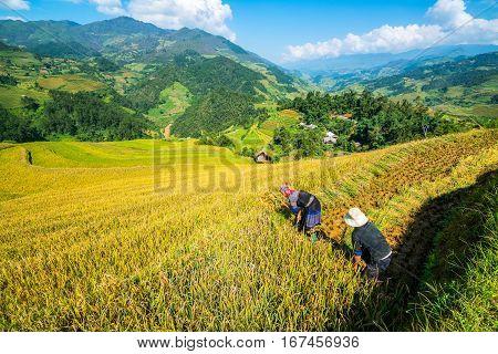 Vietnamese Farmers Are Harvesting In Sapa