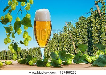 Beer glass before hops harvest, Czech Hops