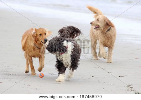 Three Dogs Playing at the Beach with a Ball