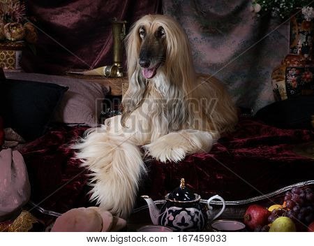 Afghan hound dog lying on the carpet in the Arab style interior with fruit