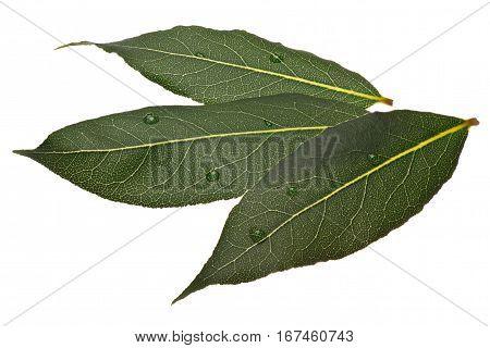 Fresh Bay Laurel (laurus) Leaves, Paths