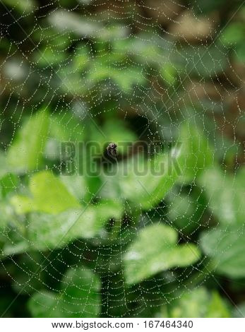 Spider and it's web covered in morning dew with a green foliage background.