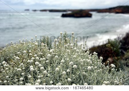 White bushes of wildflowers on the coast along the Great Ocean Road. Twelve Apostles rock formations in the background.