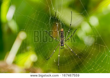 The Northern Golden Orb Weaver or Giant Golden Orb Weaver (Nephila pilipes) ventral side. Bali Indonesia.