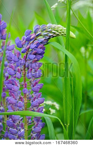 One purple lupine among the green grass