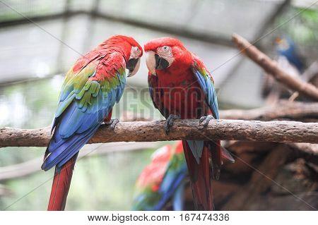 Colorful Arara parrot at Iguazu on Brazil