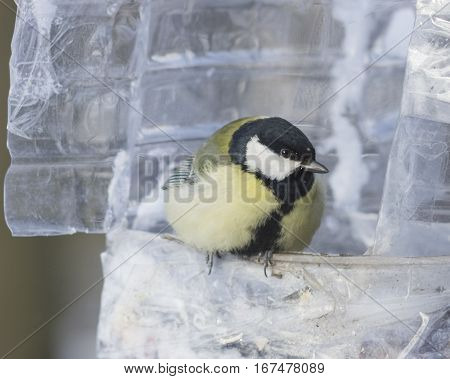 Great tit Parus Major close-up portrait at bird feeder made from plastic bottle selective focus shallow DOF