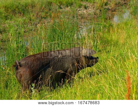big muddy sow