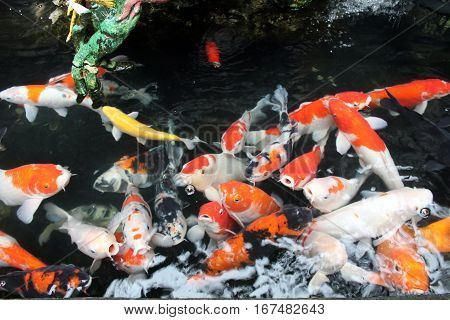 Colorful young fancy carp koi fish in clear and clean water in top view in Taipei, Taiwan