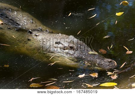 saltwater crocodile or crocodylus porosus with eye just above water surface