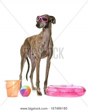 galgo espanol in summer in front of white background
