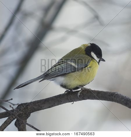 Sad looking Great tit Parus Major close-up portrait on branch with bokeh background selective focus shallow DOF