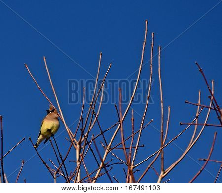 Cedar Waxwing Bird Perched in a Treetop