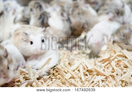 Hamsters Sleep But Have One Wake Up