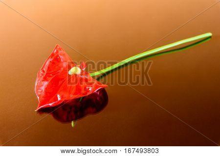 dark red anthurium flower isolated on background