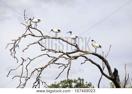 Ibises On A Tree