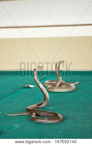 a trained Cobra on show at the circus