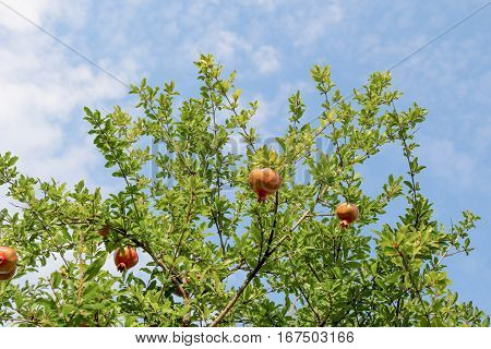 Ripe Pomegranate On The Branch Of A Pomegranate Tree