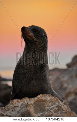 Fur seal in sunset in Kaikoura, New Zealand. Animal Portrait.