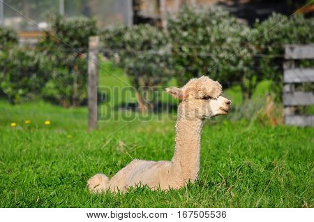 Happy alpaca on green grass field. Animal farming.