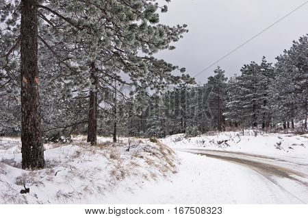 Conferious tree covered with snow along curvy moutain road in winter at mountain Kozomor, Serbia