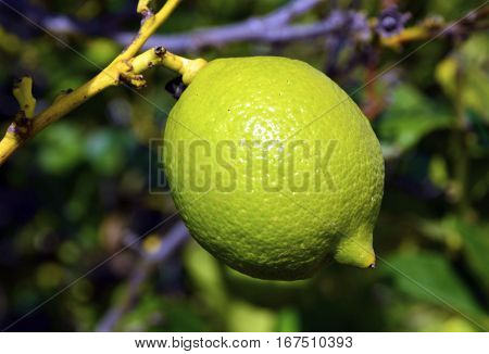 Lime fruit hanging on a branch of tree close up.Healthy food or diet concept.